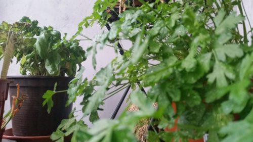 Gemüse Auf Dem Balkon Ende Meines Projekts Edc Test Online
