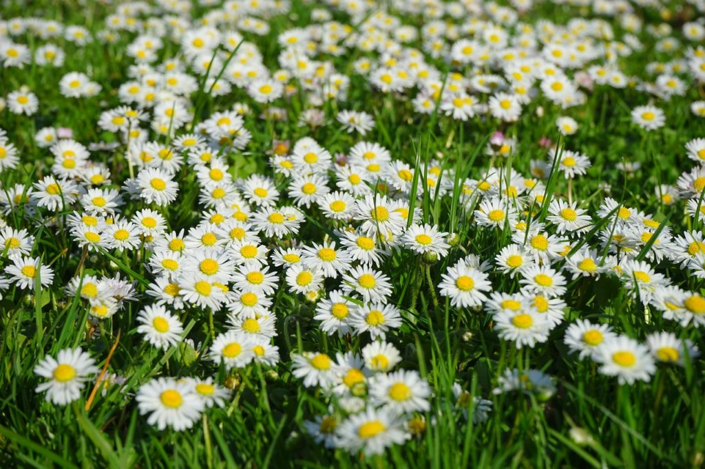 Gänseblümchen - essbare Wildpflanzen